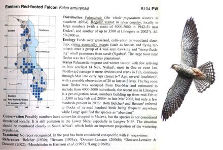 4 Falco amurensis rientrano in Siberia a nidificare