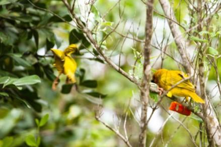 Tessitore Dorato sugli alberi della Lagoa