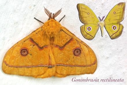 Gonimbrasia rectilineata (Malawi)