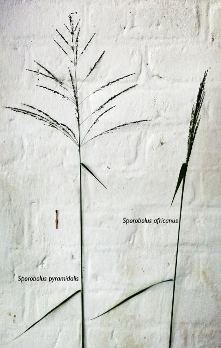 Sporobolus pyramidalis e africanus