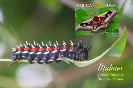 malawi-common-emperor-guide-on-safari